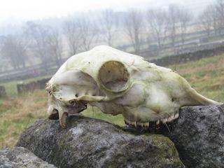 Sheep-skull