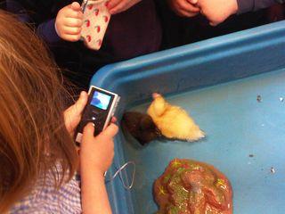 Claremont ducks 1